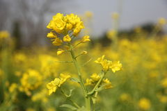 A rape flower Royalty Free Stock Images