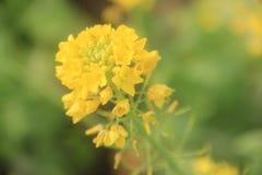 A rape flower Stock Photos