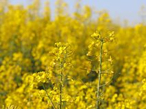 A flower on a blurred background of a rapeseed field. Plantation of an oil plant. Production of biofuel. The agrarian busines. S stock photo