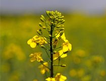 A flower on a blurred background of a rapeseed field. Plantation of an oil plant. Production of biofuel. The agrarian busines. S stock image