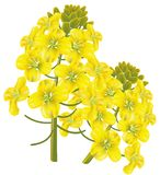 Rape flower (Brassica napus). Vector illustration. Royalty Free Stock Photography