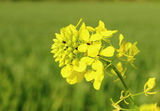 Rape flower with bugs Stock Photography