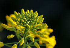 Rape Flower Royalty Free Stock Images