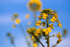 Rape Flower Royalty Free Stock Images