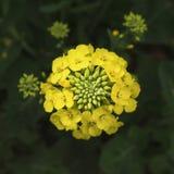 Rape flower closeup Stock Images