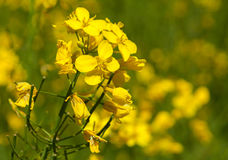 Rape flower closeup Royalty Free Stock Images