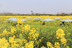 The rape flower in the countryside, chengdu, china Royalty Free Stock Photography