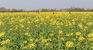 The rape flower in the countryside, chengdu, china Royalty Free Stock Images