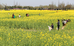 The rape flower in the countryside, chengdu, china Stock Images