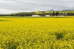 Rape flower field Stock Image