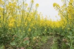 Rape flower field Stock Photography