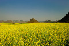Rape flower field of Luoping Royalty Free Stock Photos