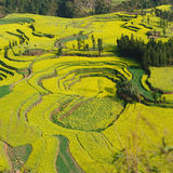 Rape flower field of Luoping. Luoping is a county in YunNan province of China. It is dominated by karst features with small basins among independent green hills Royalty Free Stock Photos