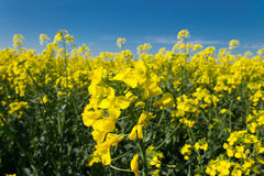 Rape flower in field. Rape flower in a rapeseed field Stock Photography