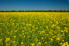 Rape flower field Royalty Free Stock Photography