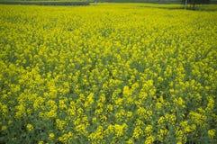 Rape Flower. Fields of the rape of opened, like piece of gold Royalty Free Stock Photo