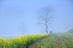 Rape flower in fog Royalty Free Stock Photo
