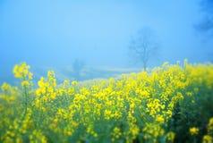 Rape flower in fog Stock Image
