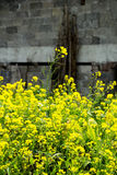 Rape flower in front of stone wall Royalty Free Stock Images