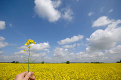 Rape flower in hand Stock Image