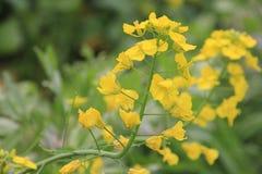 Rape  flower Stock Image