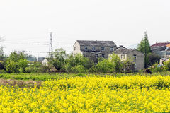 rape flower and house Royalty Free Stock Image