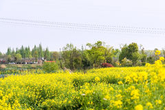 rape flower and house Royalty Free Stock Photography