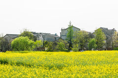 rape flower and house Royalty Free Stock Photo