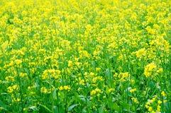 Rape flower Stock Photos