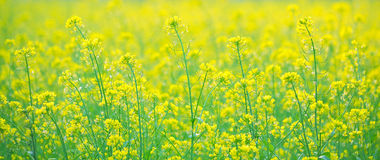 Rape flower Stock Images