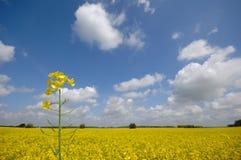 Rape flower and landscape Stock Photo