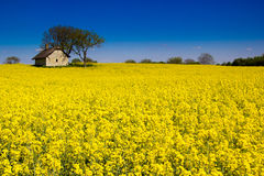 Rape flower,. With little old house Stock Images