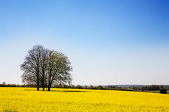 Rape flower meadow Stock Image
