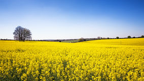 Rape flower meadow panorama Stock Photo