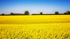 Rape flower meadow panorama Stock Images