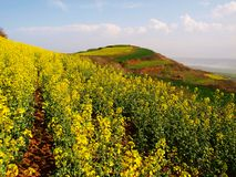 Rape flower mountain Royalty Free Stock Images