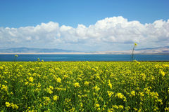 Rape flower near qinghai lake Stock Photos