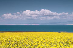 Rape Flower in Qinghai lake Stock Photos