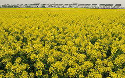 Rape flower in spring suzhou China Stock Images
