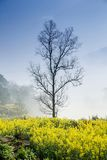 rape flower and tree Stock Photography