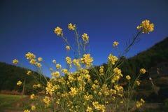 Cole flowers stock photo