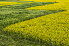Rape flower and wheat Royalty Free Stock Photography