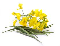 Rape flower on white table Royalty Free Stock Image