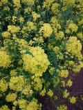 Rape flower. Yellow Rape flower in the field Royalty Free Stock Images