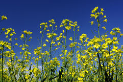 Rape flowers Royalty Free Stock Images