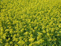 Rape flowers Royalty Free Stock Photography