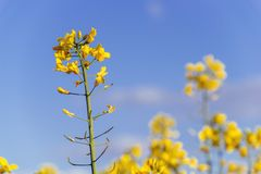 Rape Flowers Stock Photos