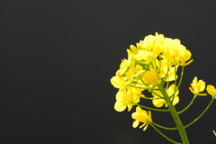 Rape flowers. This is a photograph of rape flowers Royalty Free Stock Photos