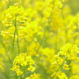 Rape Flowers at beautiful day. The yellow flowers of rape Royalty Free Stock Photos