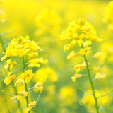 Rape Flowers at beautiful day. Yellow flower of rape. Brassica napus Stock Photo